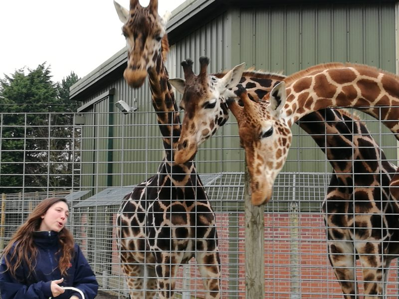 Giraffes at Banham Zoo