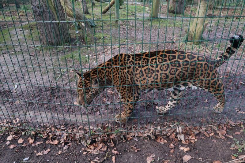 Big cat at Amazona Zoo
