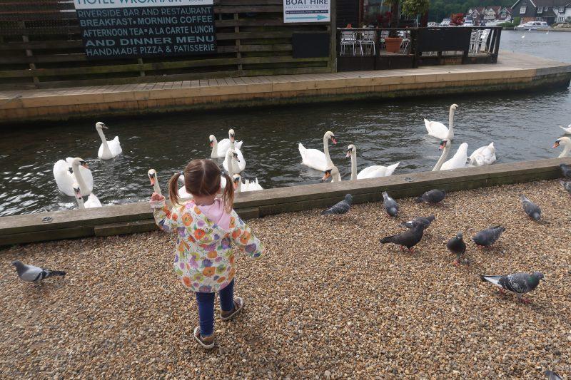 Swans at Wroxham