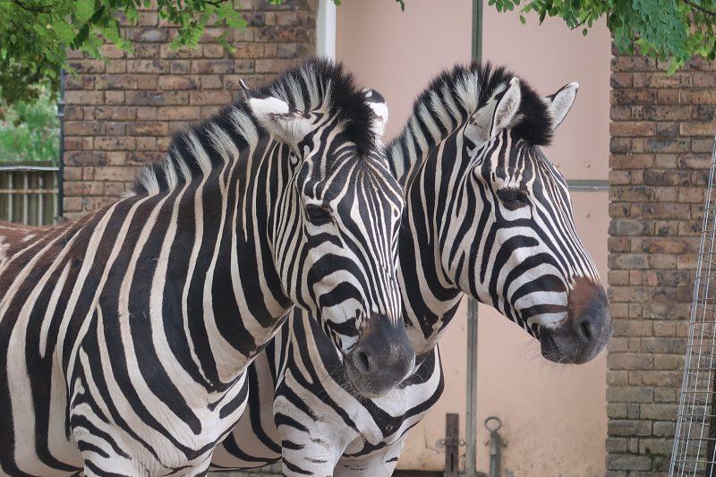 London Zoo zebra