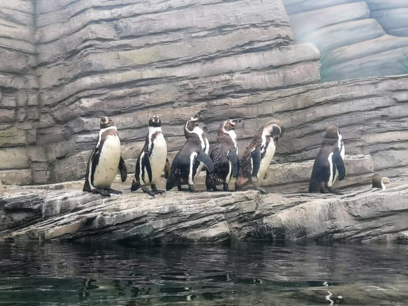 Sea Life Great Yarmouth penguins