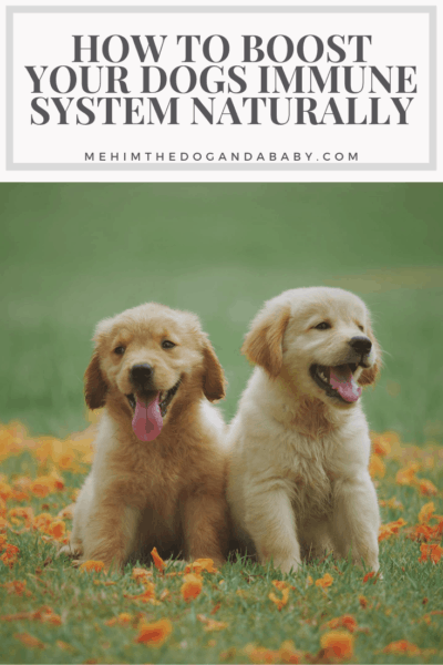 How To Boost Your Dogs Immune System Naturally