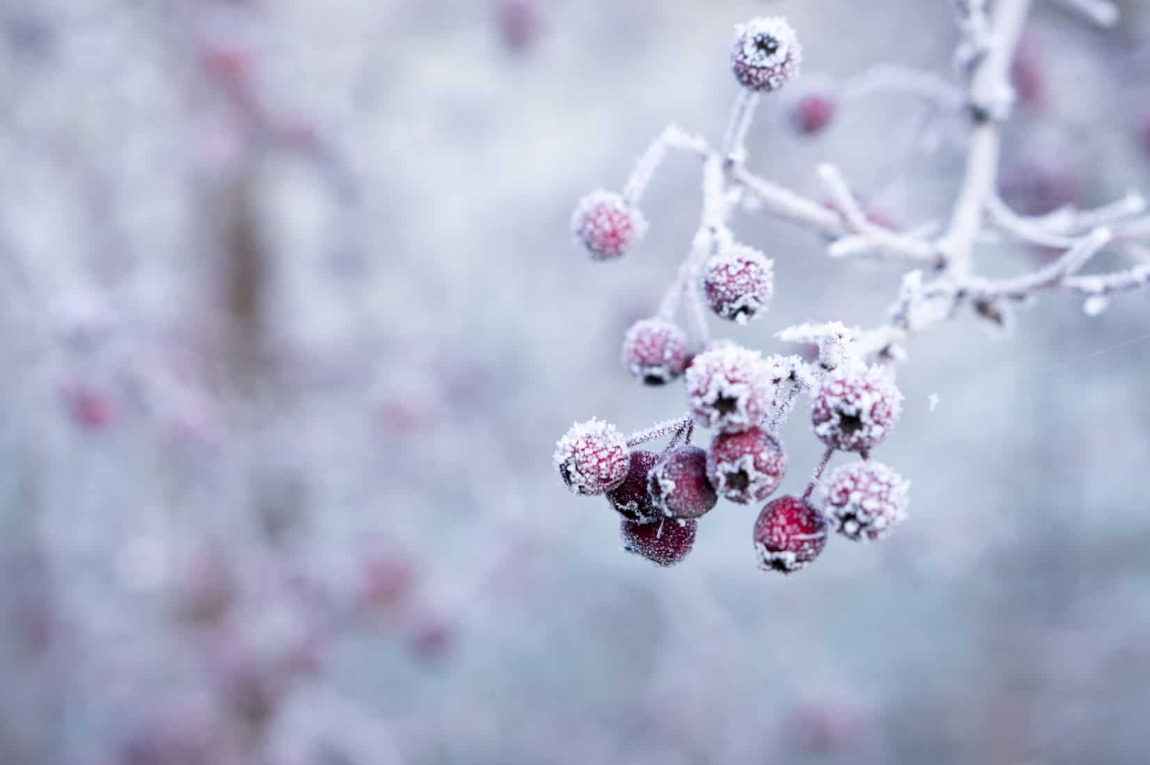 Frozen berries in garden
