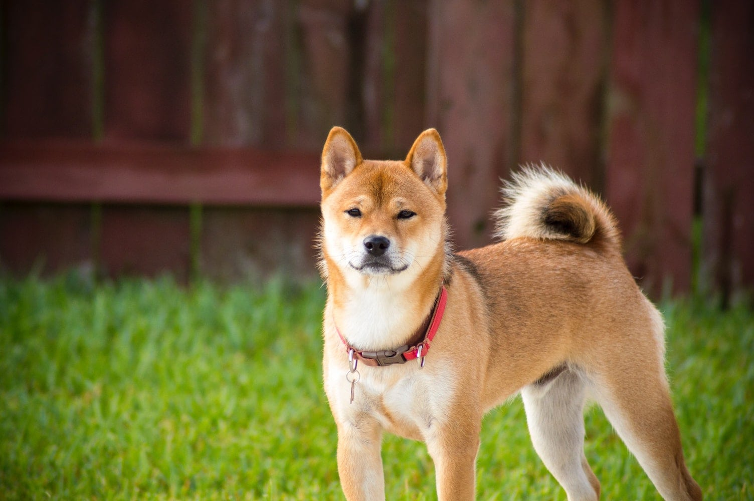 brown dog stood on grass