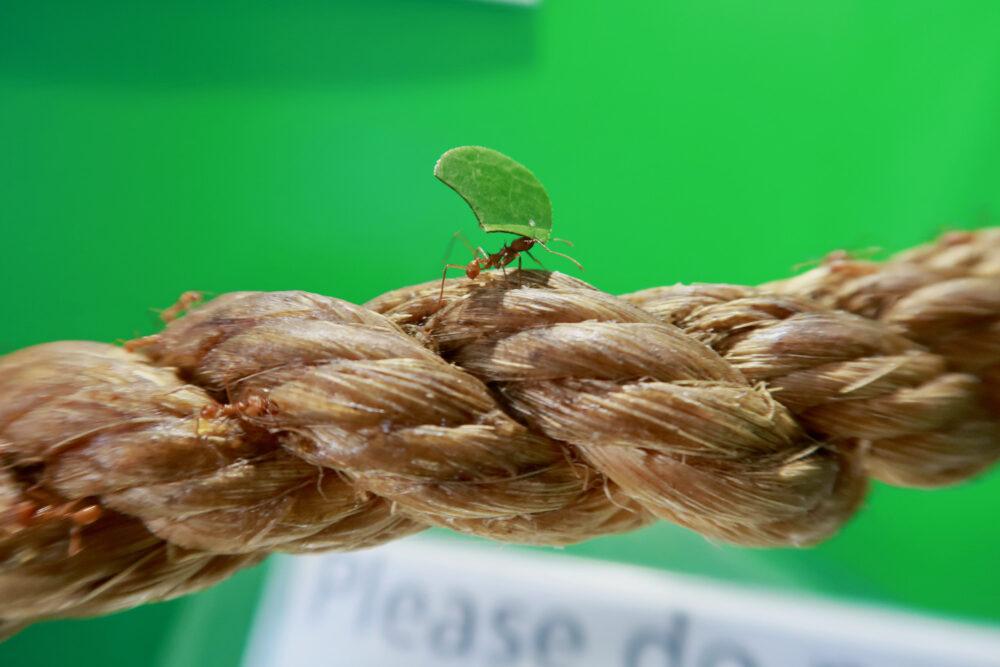 London Zoo leaf cutter ant